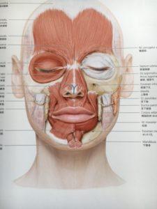 筋肉図 詳細